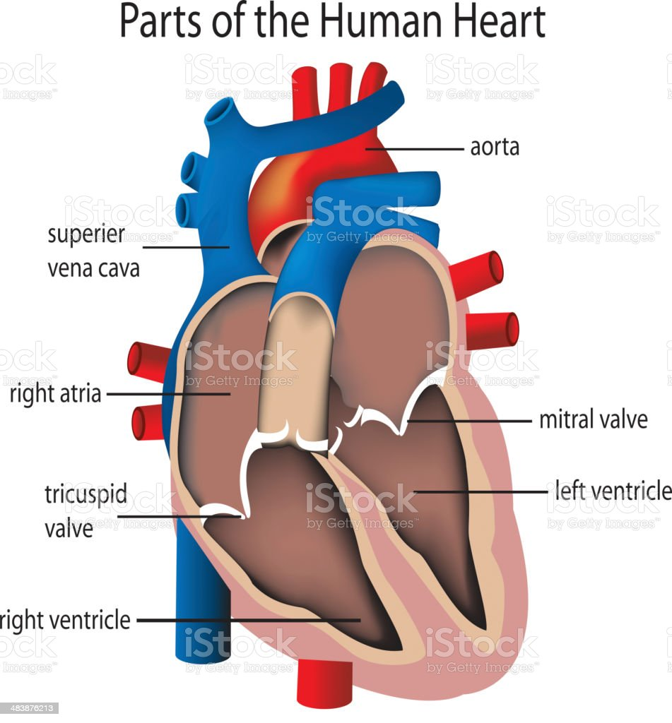 Parts of the heart vector art illustration