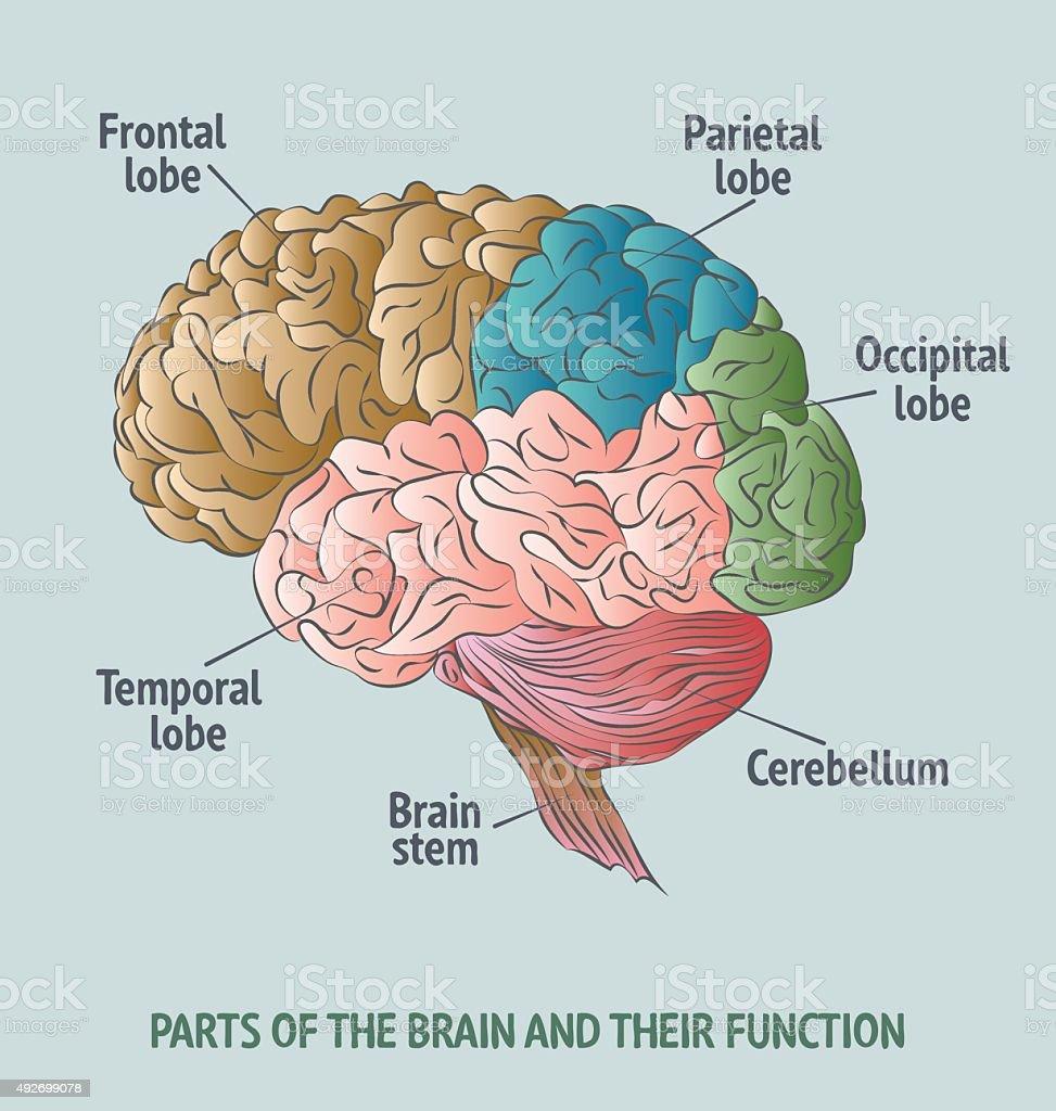 Teile Des Menschlichen Gehirn Stock Vektor Art und mehr Bilder von ...