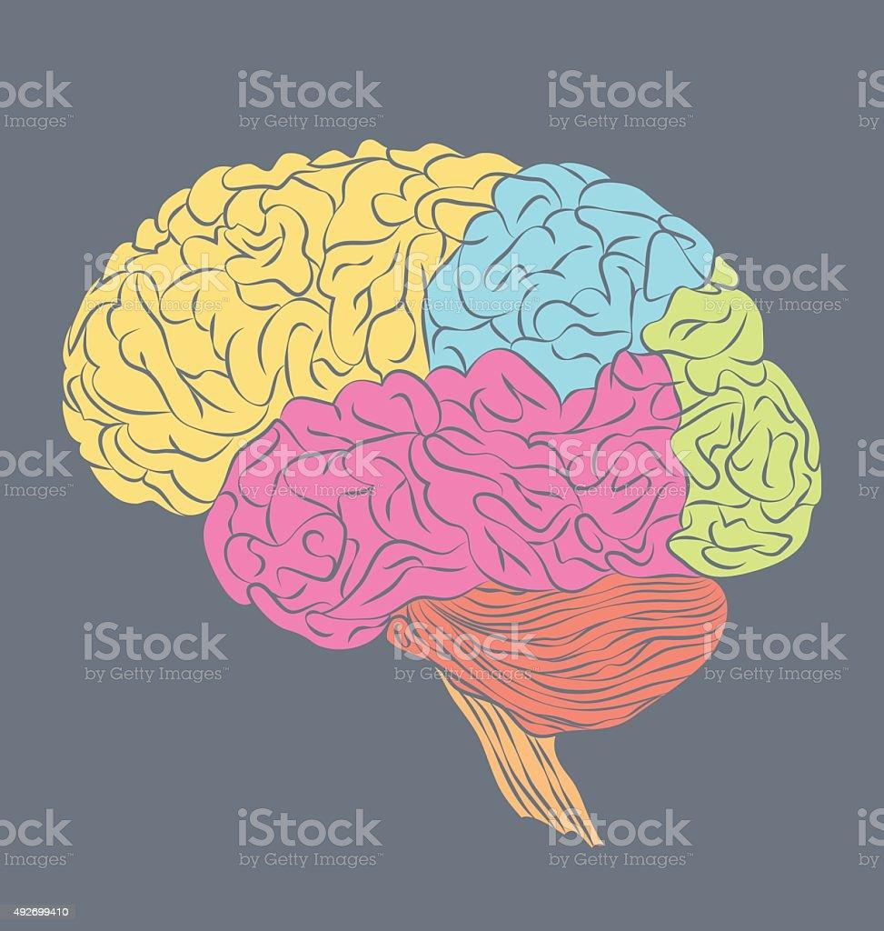 Ilustración de Partes Del Cerebro Humano y más banco de imágenes de ...