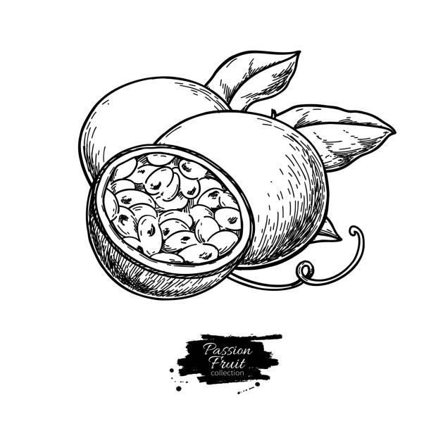 illustrations, cliparts, dessins animés et icônes de dessin vectoriel de fruit de la passion. illustration de nourriture tropicale dessiné à la main. fruit de la passion d'été gravé. - fruit de la passion