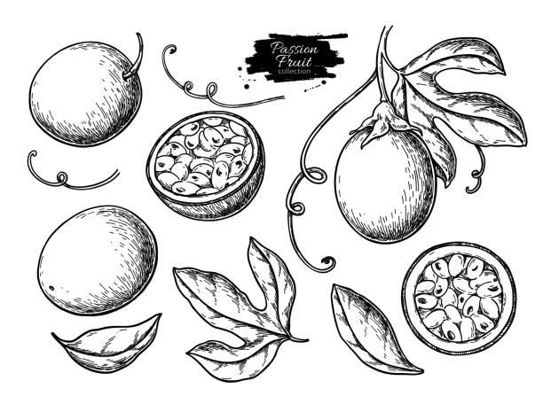 illustrations, cliparts, dessins animés et icônes de ensemble de dessin vectoriel de fruit de la passion. illustration de nourriture tropicale dessiné à la main. fruit de la passion d'été gravé - fruit de la passion