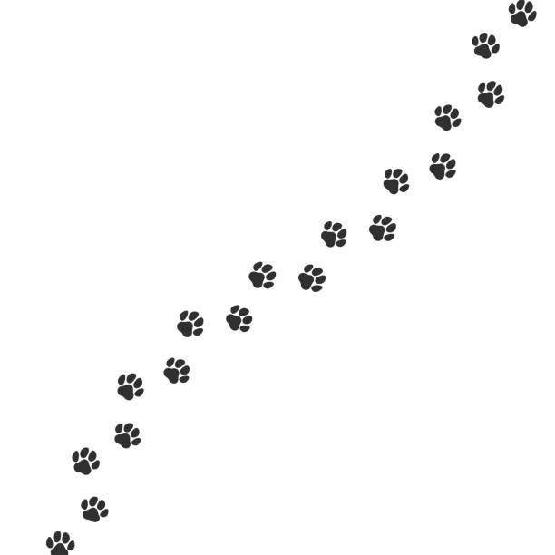 Paw print trail on white background. Vector cat or dog wild animal pawprint walk line, paw path pattern background Paw print trail on white background. Vector cat or dog wild animal pawprint walk line, paw path pattern background paw stock illustrations