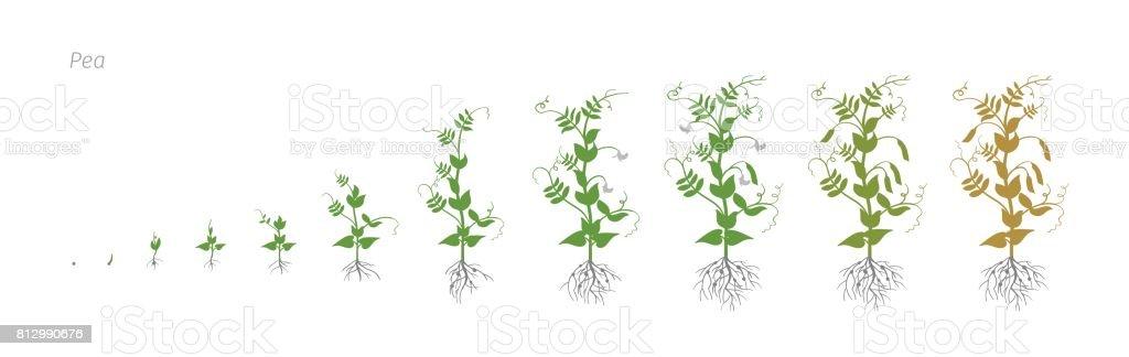 Etapas de crecimiento del guisante Pisum sativum cultivo agricultura vector ilustración - ilustración de arte vectorial