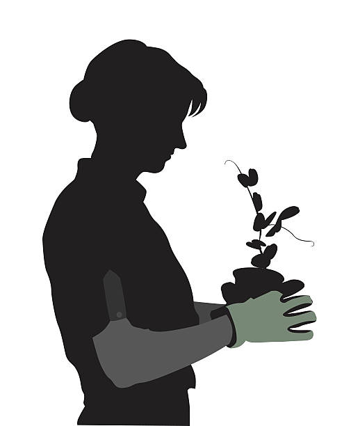 Pea Plants Growing In The Spring A vector silhouette illustration of a woman holding a potted plant with pea sprouts wearing green gloves. garden center stock illustrations