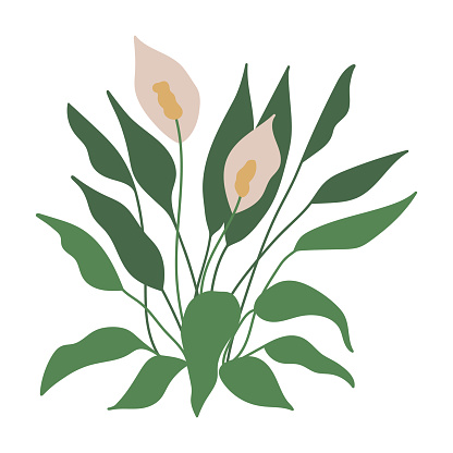 Peace Lily, Spath, Spathiphyllum. House indoor plant. Botanical, tropical