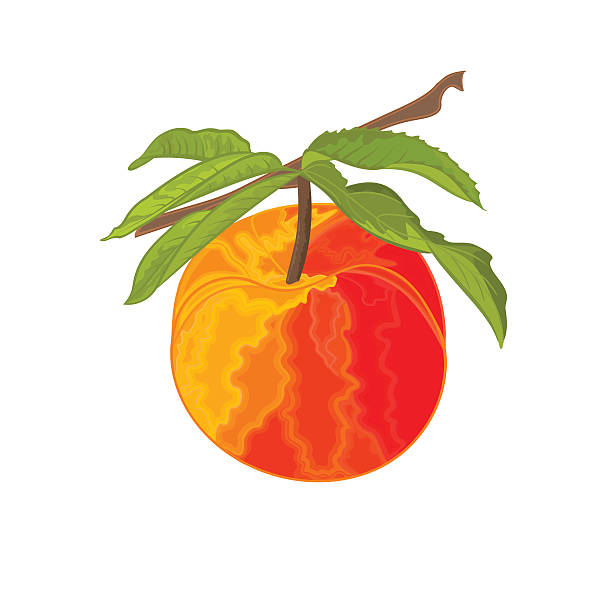 peach ast mit blättern - nektarinenmarmelade stock-grafiken, -clipart, -cartoons und -symbole