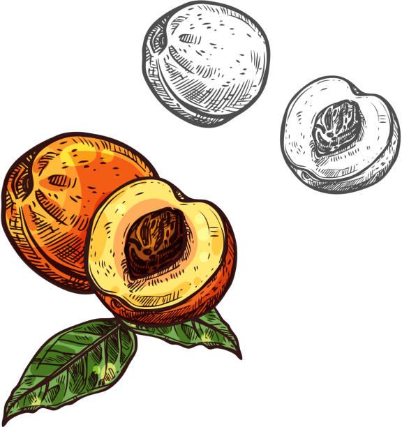 pfirsichfrucht skizze der nektarine mit grünem blatt - nektarinenmarmelade stock-grafiken, -clipart, -cartoons und -symbole