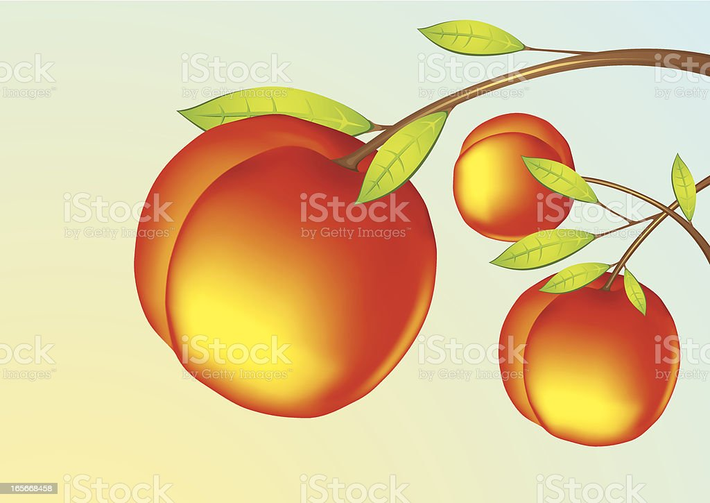 Peach - Fruits vector art illustration
