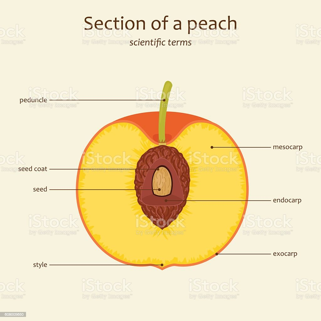 Diagram for biology of a peach diy enthusiasts wiring diagrams peach parts names vector stock vector art more images of anatomy rh istockphoto com glycolysis diagram biology glycolysis diagram biology ccuart Images