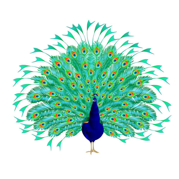 peacock beauty tropical bird on a white background watercolor vintage vector illustration editable - peacock stock illustrations