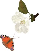 Peacock Butterly with Apple Tree Blossom