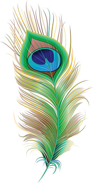 Royalty free peacock feather clip art vector images illustrations istock - Beautiful peacock feather ...