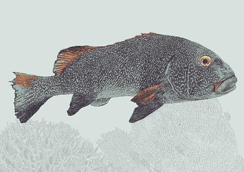 Peacock Grouper Fish
