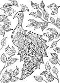 Peacock illustration.