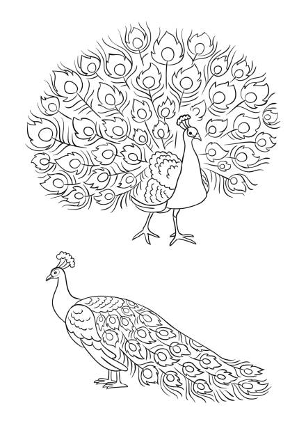 Best Simple Peacock Drawing Illustrations, Royalty-Free Vector