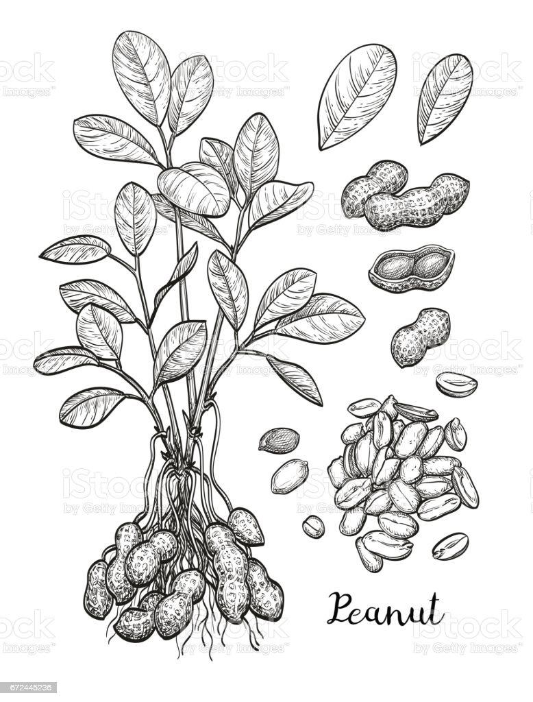 Conjunto grande de amendoim. - ilustração de arte em vetor