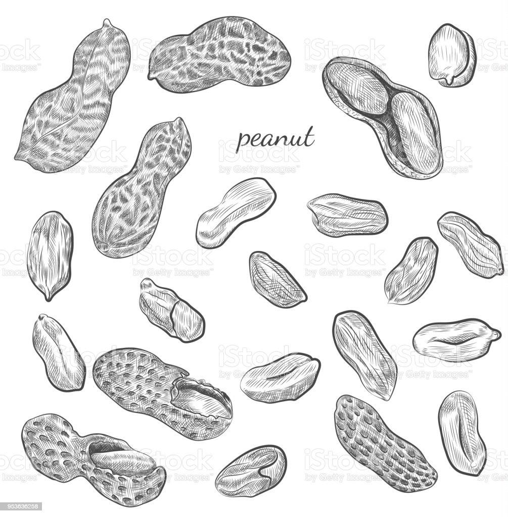Ilustração de amendoim mão desenhada. - ilustração de arte em vetor