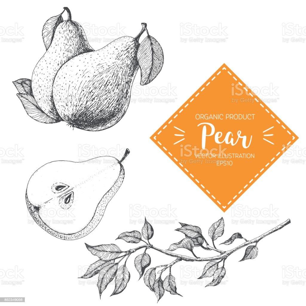 Birne-Vektor-Illustration. Handgezeichnete Gestaltungselement. Eine Frucht, die im Vintage-Stil gezeichnet – Vektorgrafik