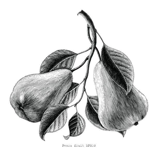Birnen Frucht hand Zeichnung Vintage Gravur Abbildung auf weißem Hintergrund – Vektorgrafik