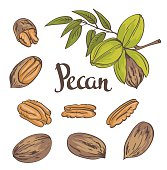 Pecan nuts isolated on a white background. Vector illustration.