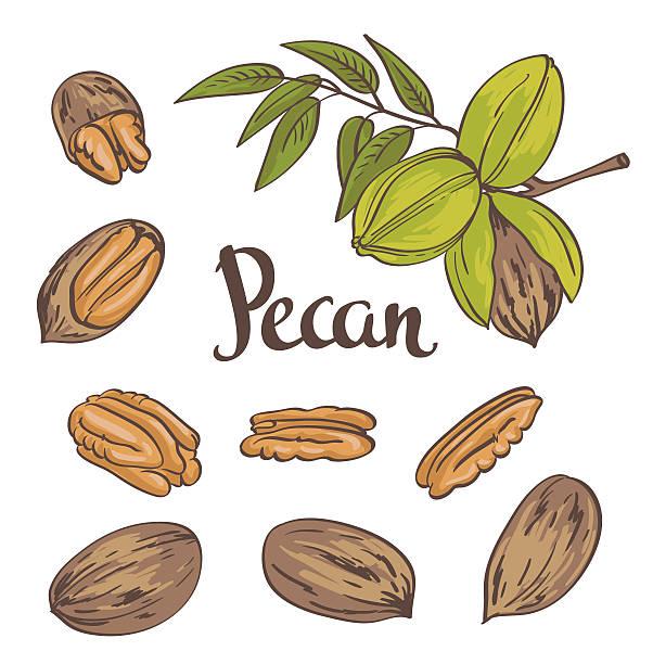 Pecan Clip Art, Vector Images & Illustrations - iStock (602 x 612 Pixel)