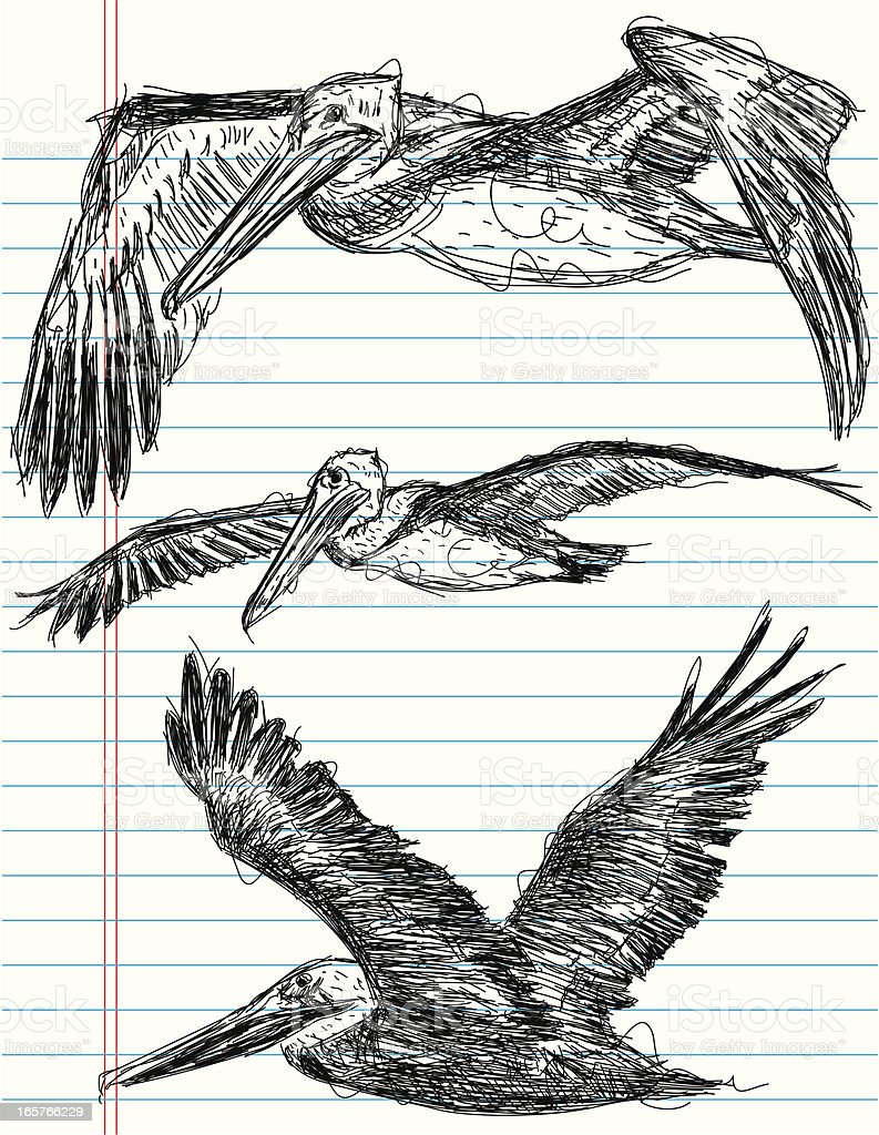 pelican sketches vector art illustration