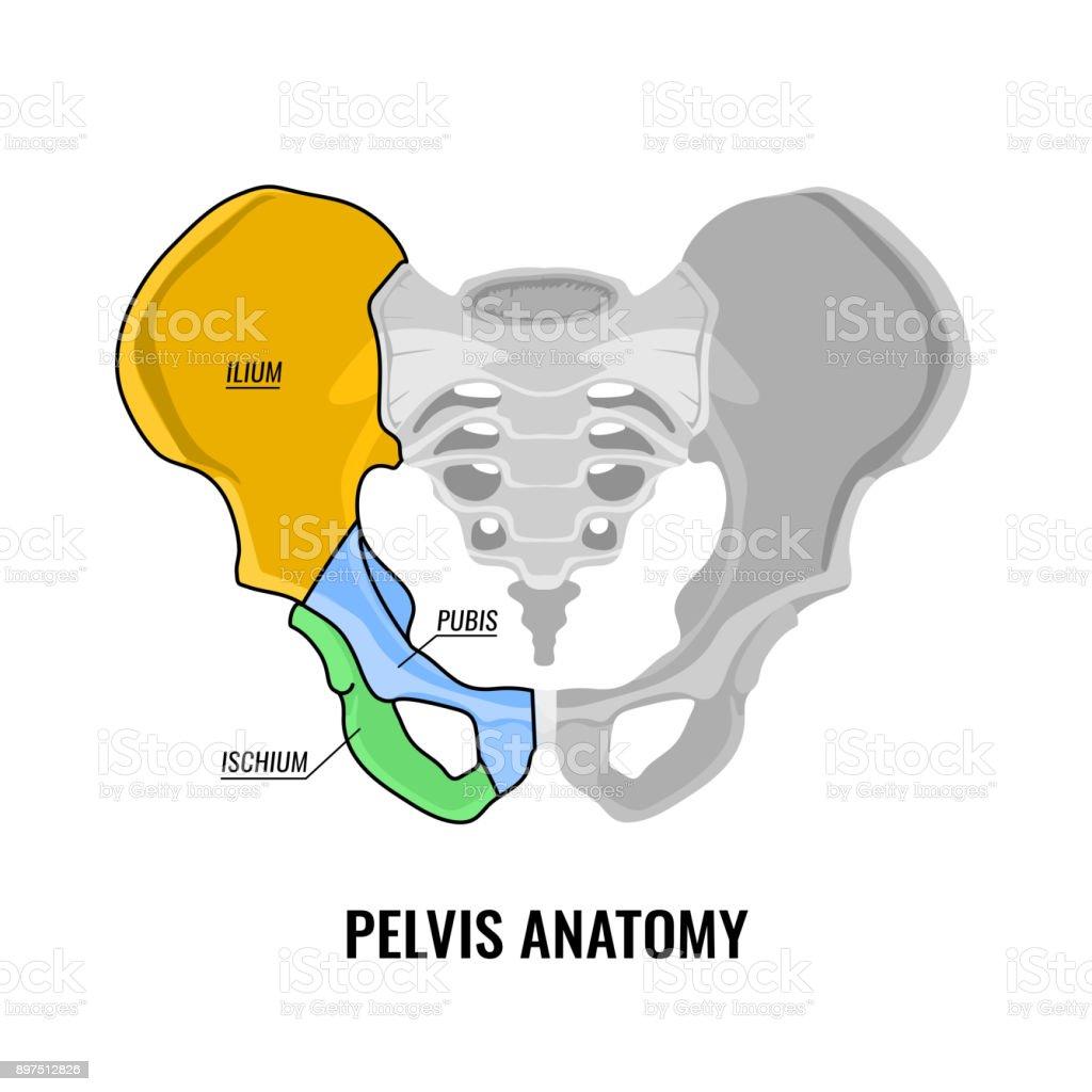 Beckenanatomieschema Stock Vektor Art und mehr Bilder von Anatomie ...