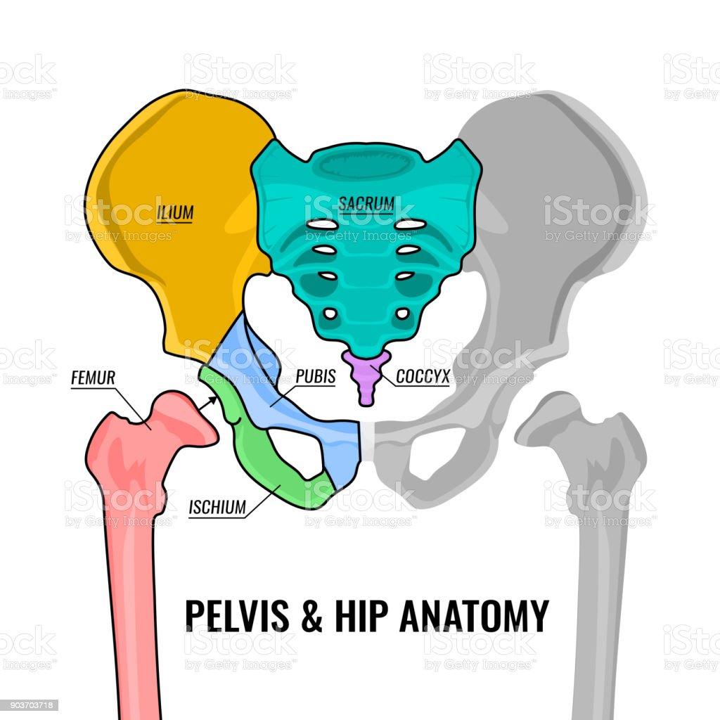 Ilustración de Esquema De La Anatomía De Pelvis y más banco de ...
