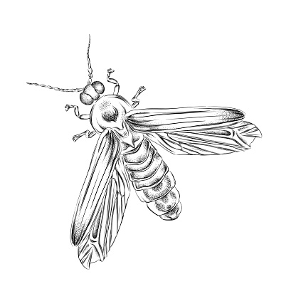 Pen and Ink Drawing of a Firefly. EPS10 Vector Illustration
