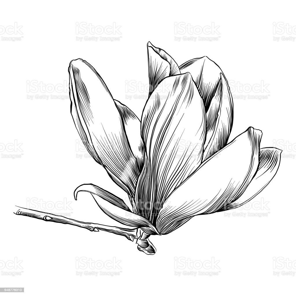 Plume Et Encre De Dessin Dune Fleur De Magnolia Vecteurs