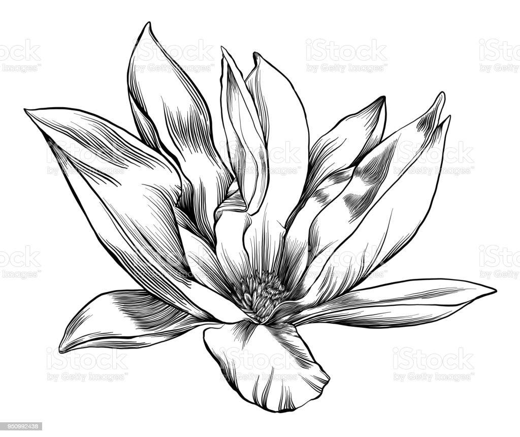Plume Et Encre De Dessin Dune Fleur De Magnolia Avec