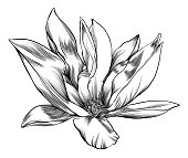 Pen and Ink Drawing of a Magnolia Flower with Watercolor Elements