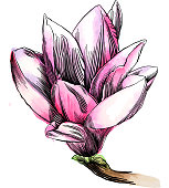 Pen and Ink Drawing of a Magnolia Flower with Watercolor Elements.