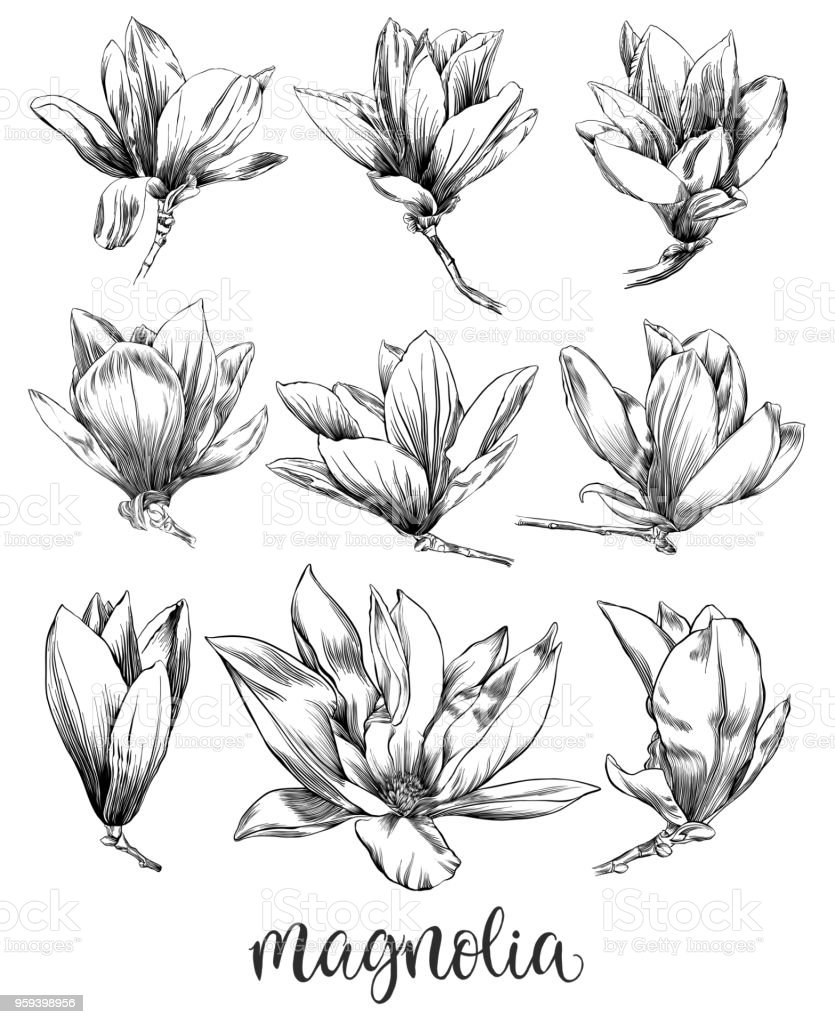 Pen and Ink Drawing of a Magnolia Flower with Watercolor Elements vector art illustration