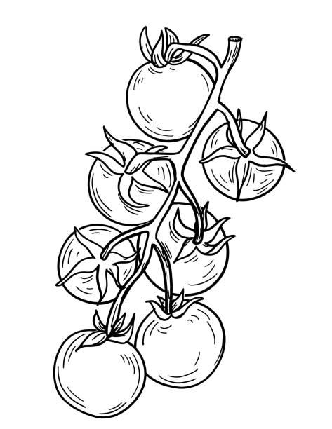 Pen And Ink Hand Drawn Heirloom Tomato vector art illustration