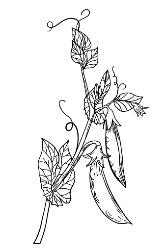 Pen And Ink Hand Drawn Peas On The Vine