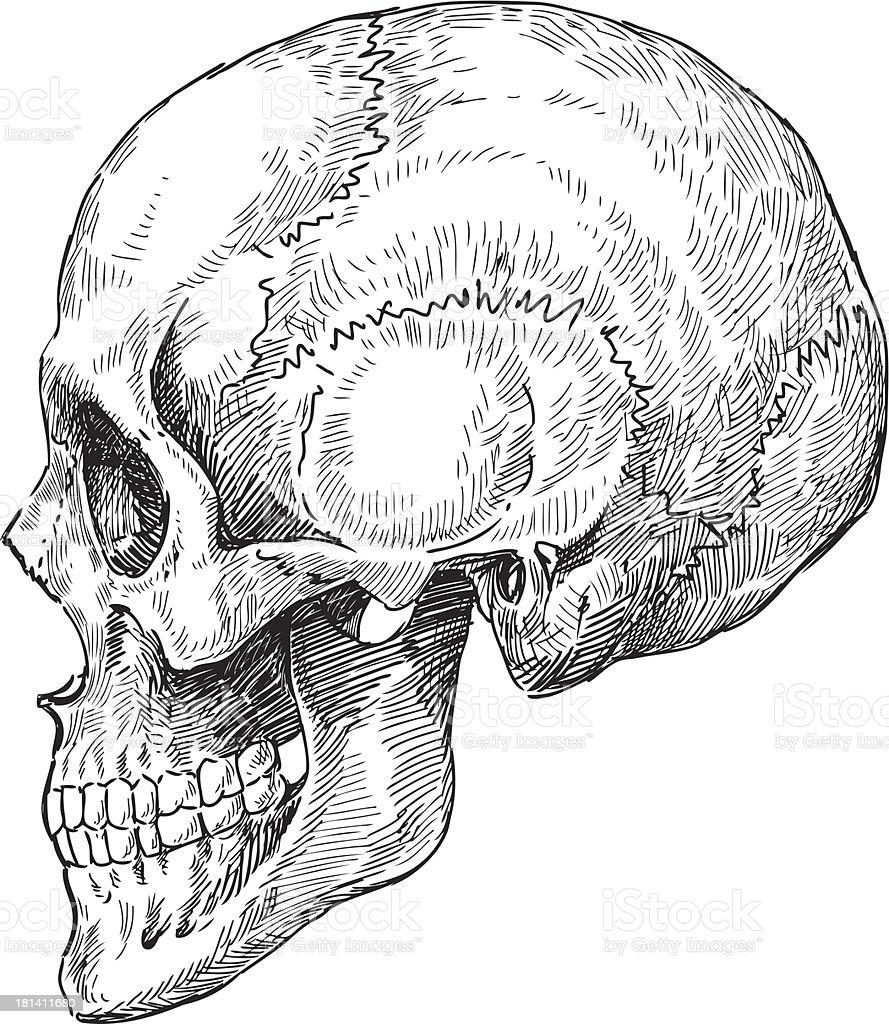 Menschlicher Schädel Skizze Stock Vektor Art und mehr Bilder von ...