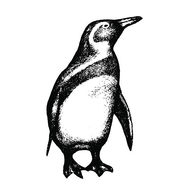 stockillustraties, clipart, cartoons en iconen met penguin isolated on white background. hand drawn. vector - pinguins swimming