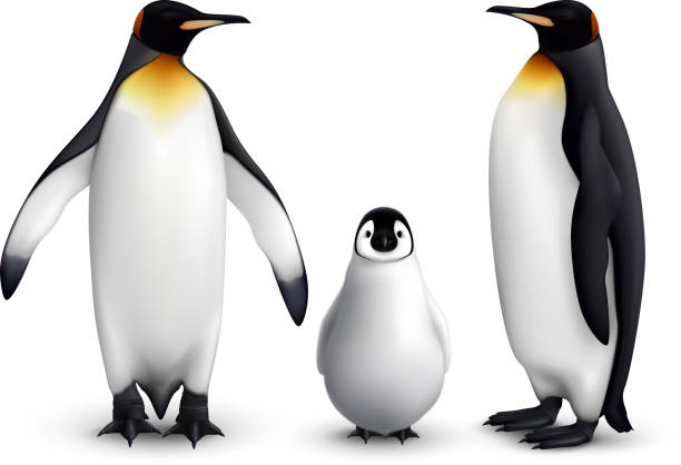 penguin realistic set King penguin family with chick realistic closeup image with adult birds front and side view vector illustration penguin stock illustrations