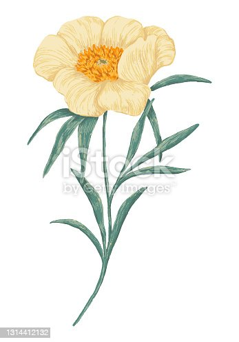 istock Peony Claire de Lune plant. Colored wildflower drawing. Hand drawn vector illustration. Botanical clipart isolated on white. Gentle single element for design, card, print, decor, typography, sticker. 1314412132