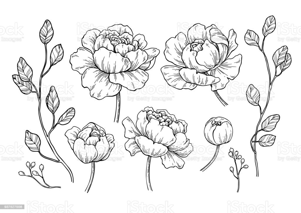 Flower Leaf Line Drawing : Peony flower and leaves drawing vector hand drawn engraved