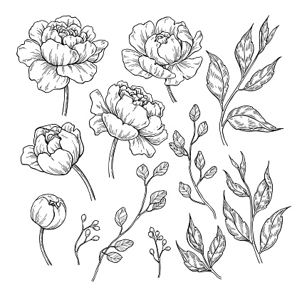 Peony flower and leaves drawing. Vector hand drawn engraved floral set. Botanical rose, clipart