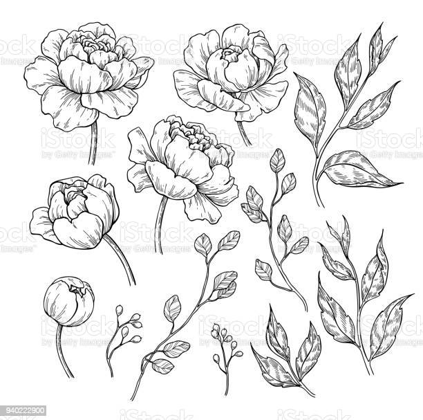 Peony flower and leaves drawing vector hand drawn engraved floral set vector id940222900?b=1&k=6&m=940222900&s=612x612&h=7vl7rqdz8aeiebewsjma yudiv1oi9rtg960or xmqy=