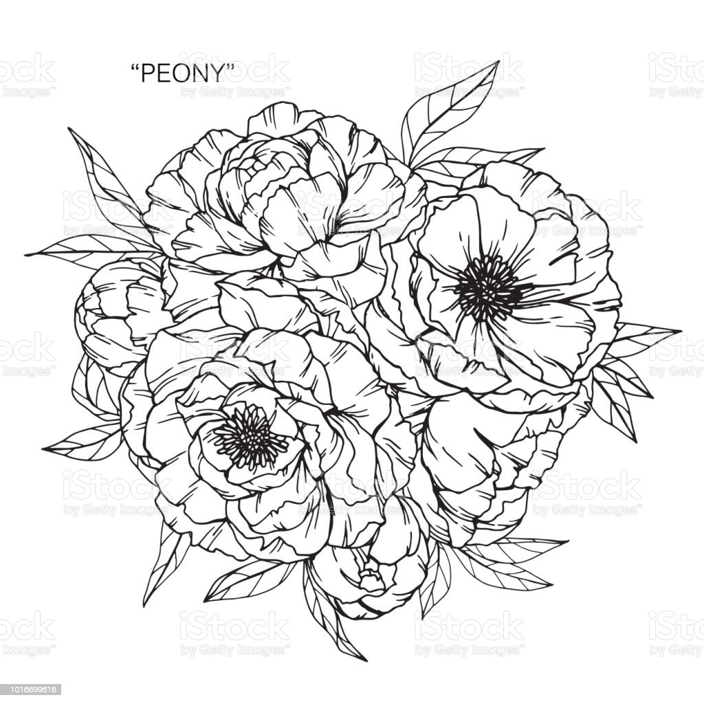Peony Flower Drawing Illustration Black And White With Line Art On