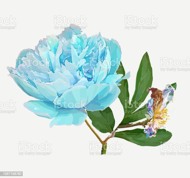 Peony flower vector id1057156762?b=1&k=6&m=1057156762&s=612x612&h= a sg2f0b fq8ovvcequ5jn082vpiavz4njoysnfrau=