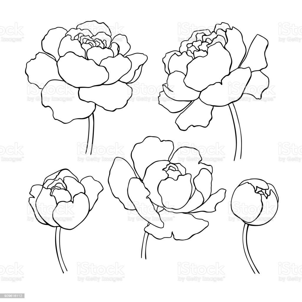 Peony Line Drawing Vector Hand Drawn Outline Flower Set Stock Illustration Download Image Now Istock