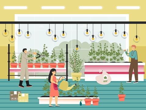 People growing cannabis sativa plants flat vector illustration. Marijuana farm. Legal cannabis cultivation Weed business