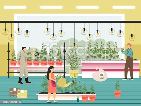 istock People growing cannabis sativa plants flat vector illustration. Marijuana farm. Legal cannabis cultivation Weed business 1307948316