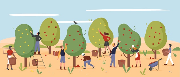 People work, farmers pick apples in autumn farm garden, agriculture workers harvesting