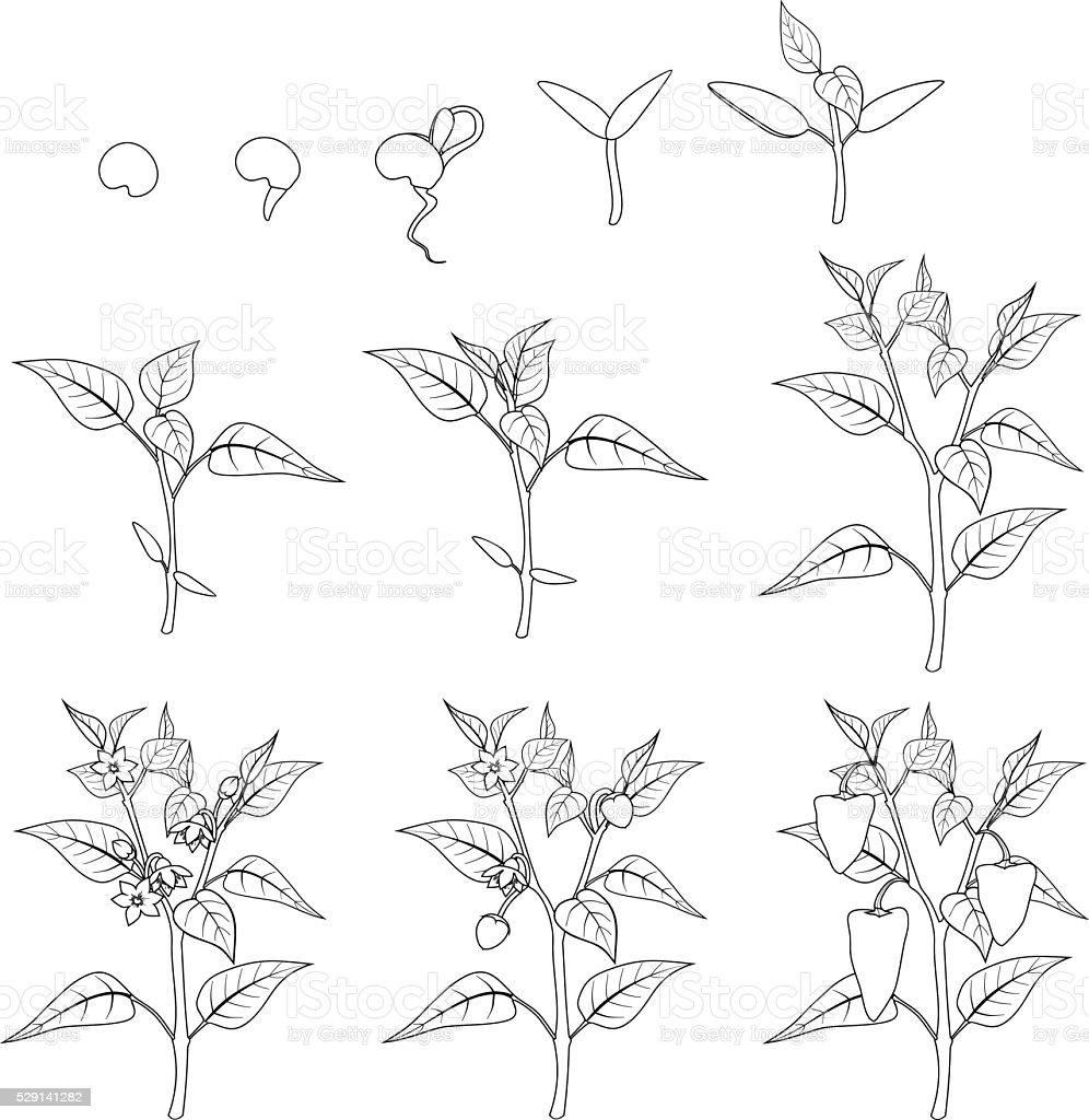 Pimienta Fase De Crecimiento Colorear - Arte vectorial de stock y ...